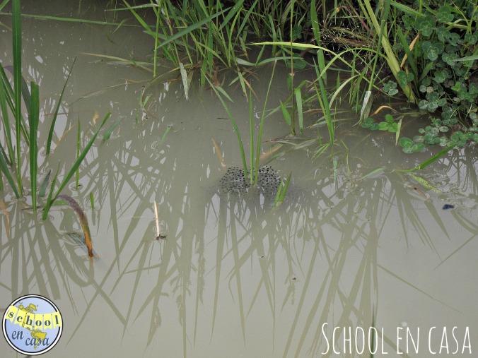 Huevos de rana Frog eggs
